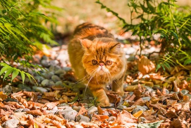 Czerwony kot perski w jesiennym tle z opadłymi suchymi liśćmi