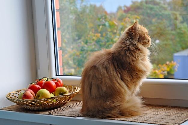 Czerwony kot siedzi na parapecie w pobliżu jabłek i pomidorów i spogląda przez okno na jesienny krajobraz. duży czerwony kot perski.