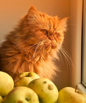 Czerwony kot siedzi na parapecie w pobliżu jabłek i wygląda przez okno