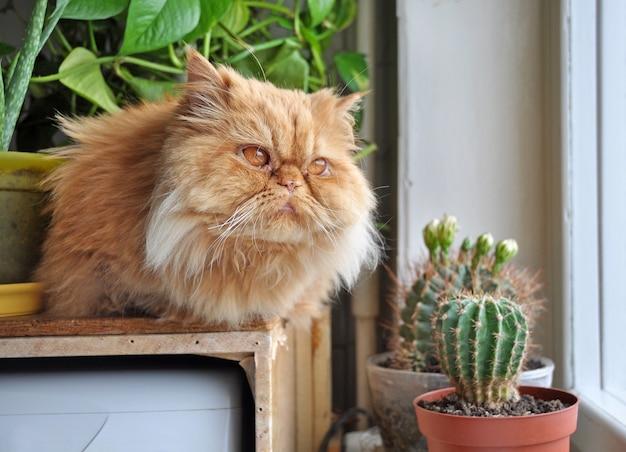 Czerwony kot siedzi na parapecie w pobliżu kaktusa i spogląda przez okno na jesienny krajobraz. duży czerwony kot perski.