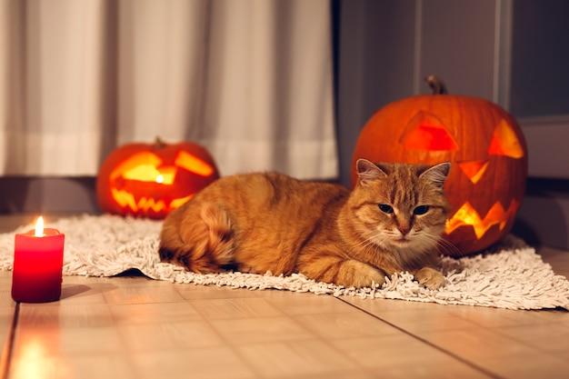 Czerwony kot siedzi w pobliżu rzeźbione dynie