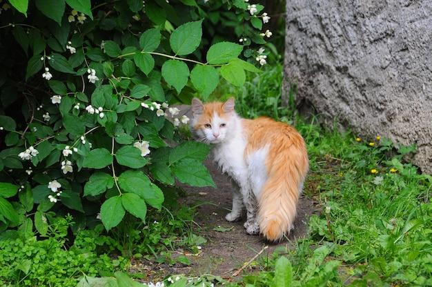 Czerwony kot uliczny siedzi pod drzewem z kwiatami jaśminu.