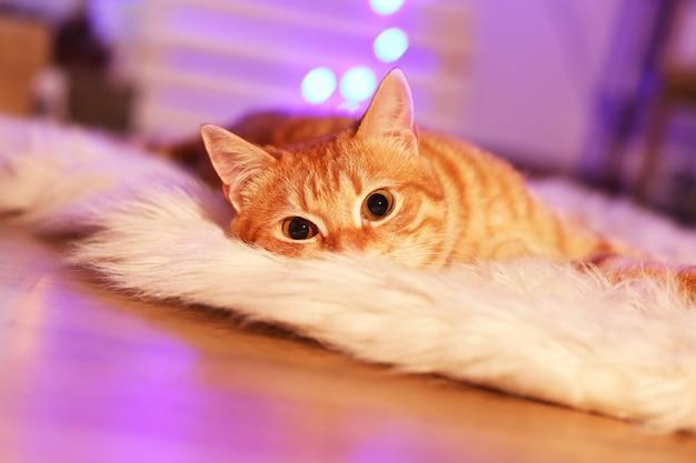 Czerwony kot w domu