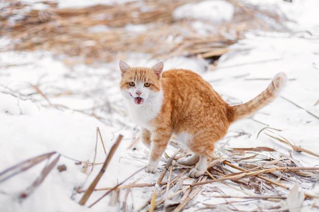 Czerwony kot wyszedł na spacer na zimowy dzień.