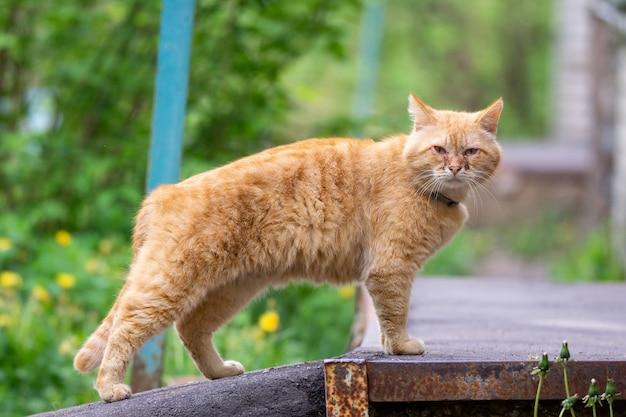 Czerwony kot z obolałymi oczami