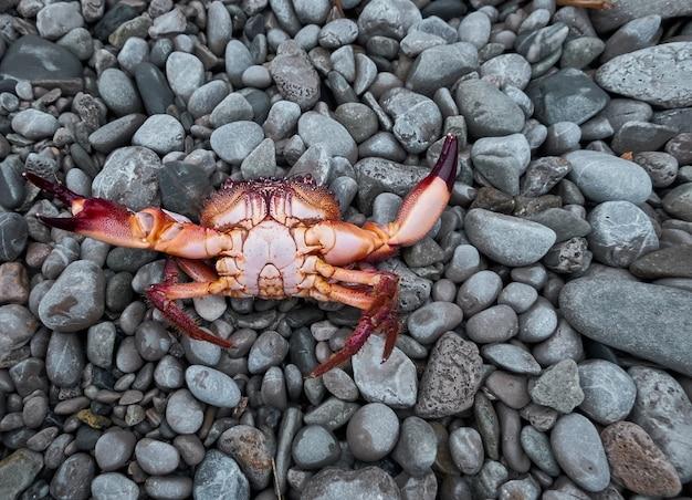 Czerwony krab na szarym kamieniu.