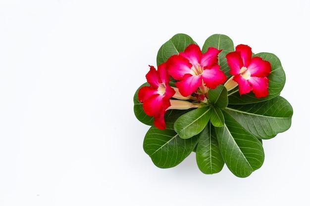Czerwony kwiat adenium z zielonymi liśćmi na białej powierzchni