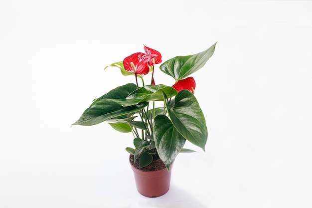 Czerwony kwiat anthurium w brązowym garnku na białym tle.