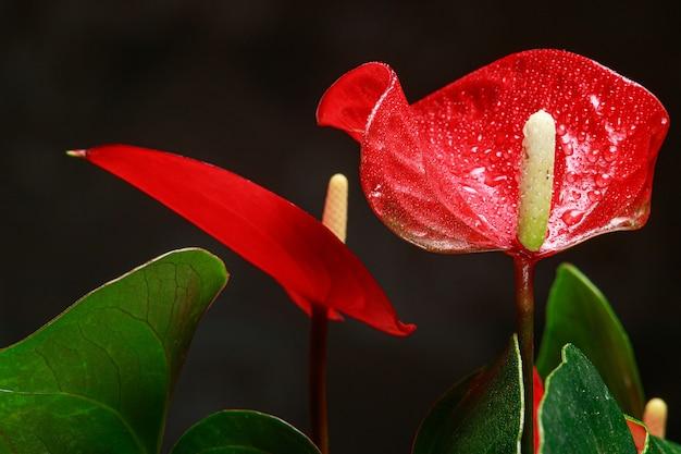 Czerwony kwiat anturium w kształcie serca to kwiat flaminga,