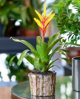 Czerwony kwiat bromeliad w doniczce drewnianej
