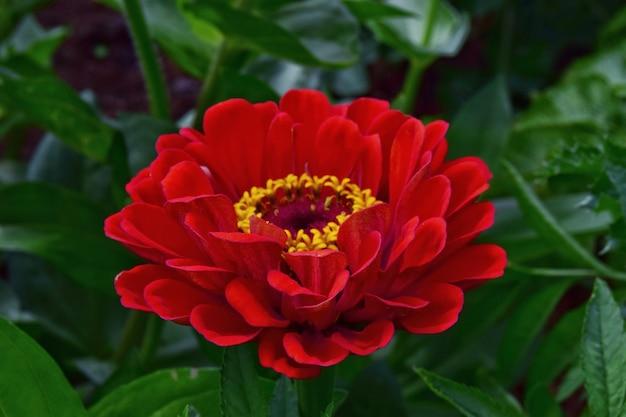 Czerwony kwiat cynia w ogrodzie