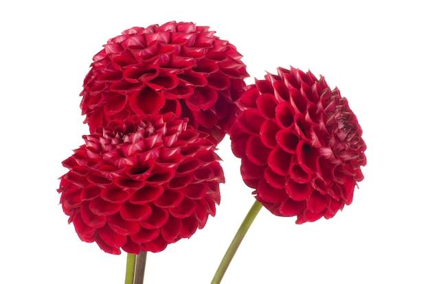 Czerwony Kwiat Dalii Na Białym Premium Zdjęcia