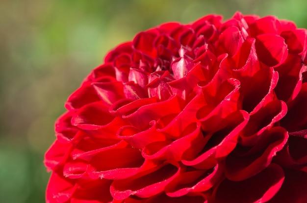 Czerwony kwiat dalii na zielono