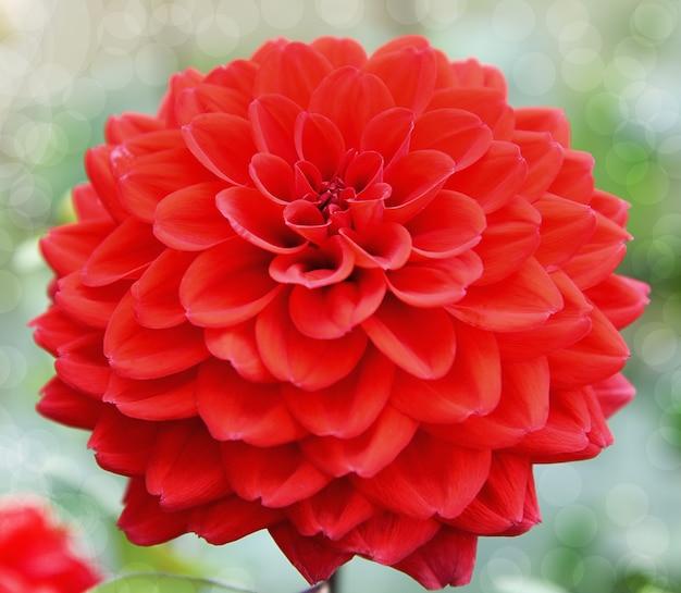 Czerwony kwiat dalii piękny na tle rozmycia natury