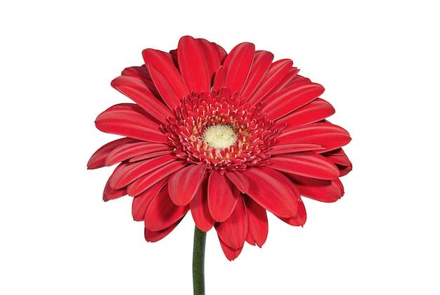 Czerwony kwiat gerbery na białym tle kwiaty i rośliny