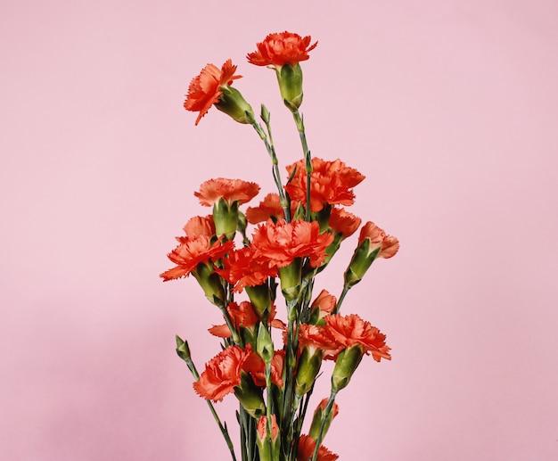 Czerwony kwiat goździka na różowym tle