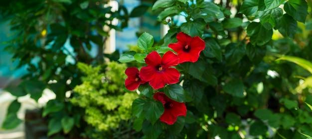 Czerwony kwiat hibiskusa niewyraźne liści