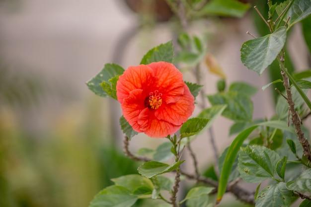 Czerwony kwiat hibiskusa w ogrodzie w rio de janeiro.