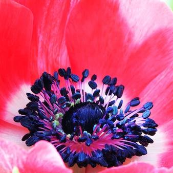 Czerwony kwiat maku makro z bliska zdjęcie