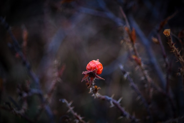 Czerwony kwiat na grubej suchej gałęzi z cierniami