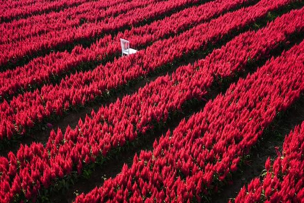 Czerwony kwiat ogród krajobraz kwiat pole z farmą roślin, piękne kwiaty celosia plumosa