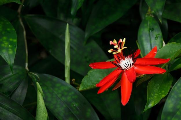 Czerwony kwiat pasji