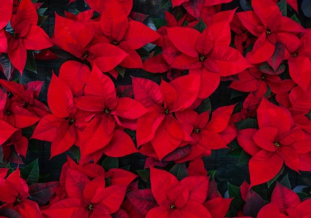 Czerwony kwiat poinsettia, znany również jako gwiazda bożego narodzenia lub gwiazda bartłomieja.