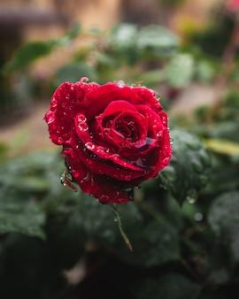 Czerwony kwiat róży z kropli wody