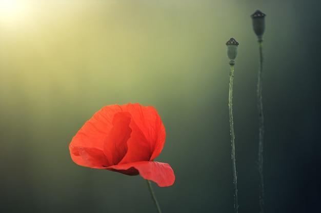 Czerwony kwiat w ogrodzie