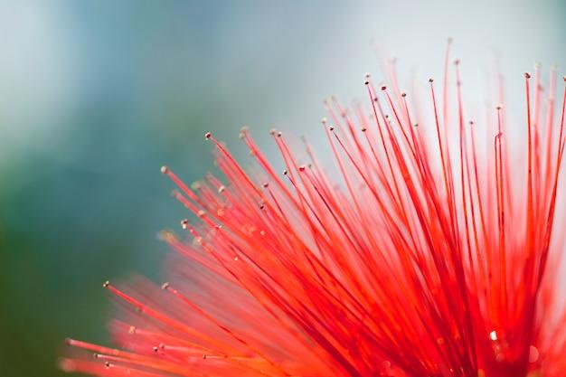 Czerwony kwiat z bliska. zamyka up wewnętrzna część czerwony kwiat.