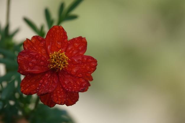 Czerwony kwiat z nieostre tło ogrodu