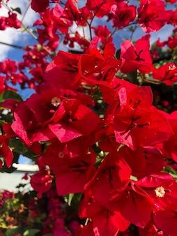 Czerwony kwiat zwany bougainvillea w los angeles w kalifornii