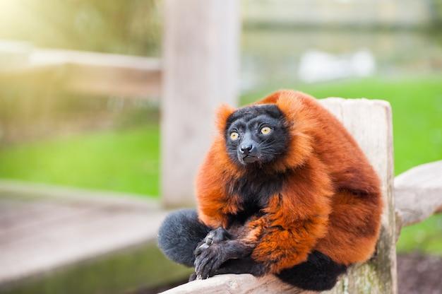 Czerwony lemur wari siedzi na płocie w artis zoo w amsterdamie