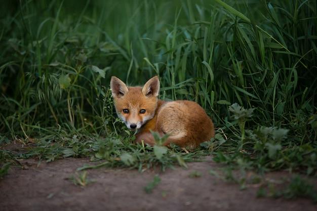 Czerwony lis leży na zielonej trawie