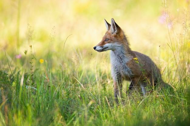 Czerwony lis patrzeje na boku w lecie na zielonej łące