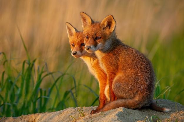 Czerwony lis, vulpes vulpes, małe młode młode w pobliżu jaskini ciekawie się przyglądają.
