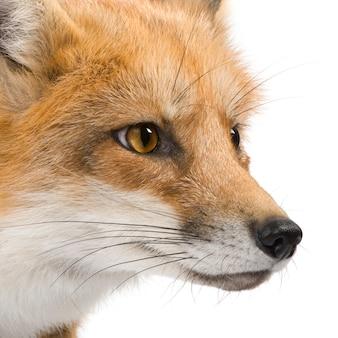 Czerwony lis, vulpes vulpes, odizolowywający na bielu