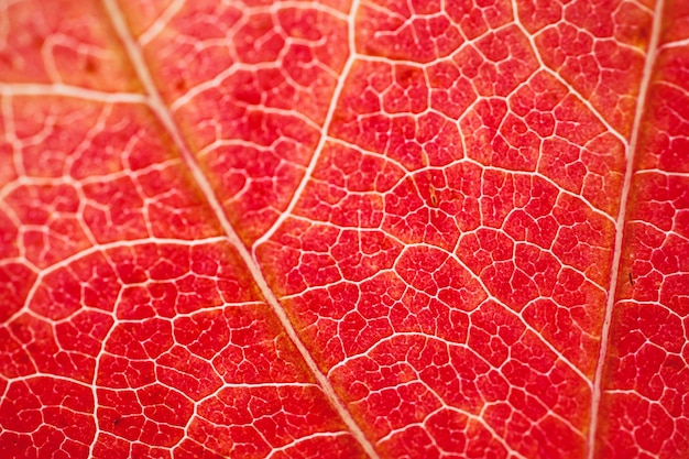 Czerwony liść drzewa teksturowane kolory jesieni w sezonie jesiennym, czerwony bacground