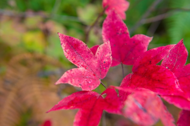Czerwony liść klonu w przyrodzie na duży las