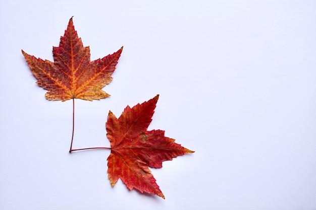 Czerwony liść klonu z jesienne kolory na białym tle