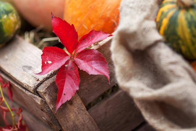Czerwony liść. parthenocissus quinquefolia w czasie jesieni.