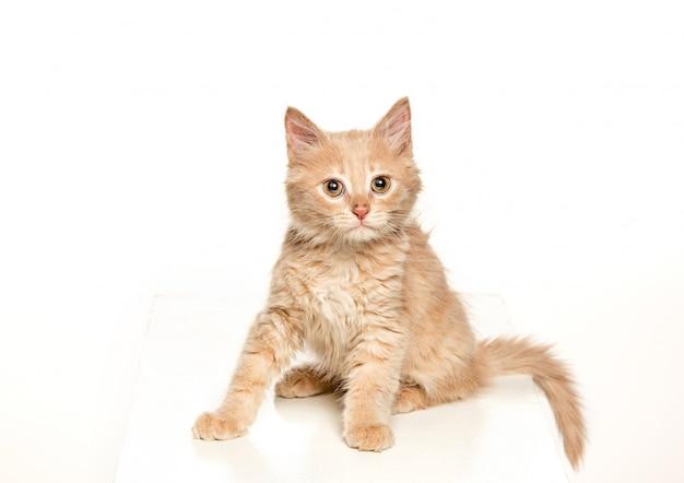 Czerwony lub biały kot i na białym studio