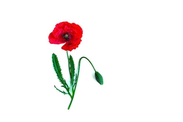 Czerwony mak na białym tle na białym tle. kreatywna martwa natura lato, wiosna koncepcja. kartkę z życzeniami w stylu płasko świeckim. skopiuj miejsce.