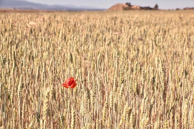 Czerwony makowy kwiatu kwitnienie w pszenicznym polu