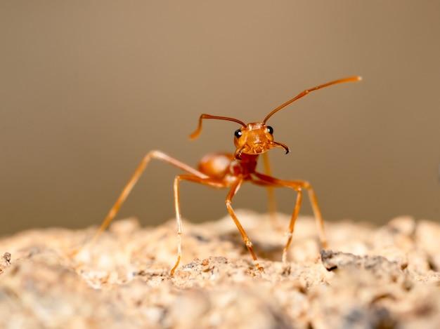 Czerwony mrówka insekt na drzewie na zamazanym brązie
