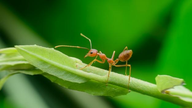 Czerwony mrówka spacer na zielonym liściu