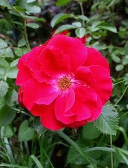 Czerwony ogród różany