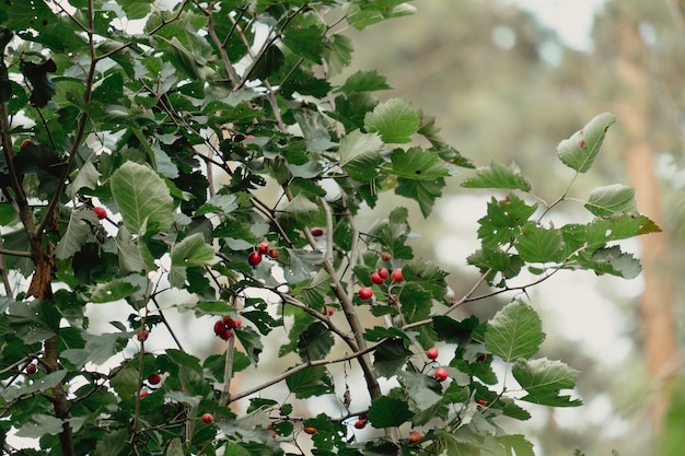 Czerwony owoc crataegus monogyna, znany jako głóg lub głóg jednoszyjkowy (maj, majonek, majtik, tartak, białogłog, matecznik, głóg). jagody głogu