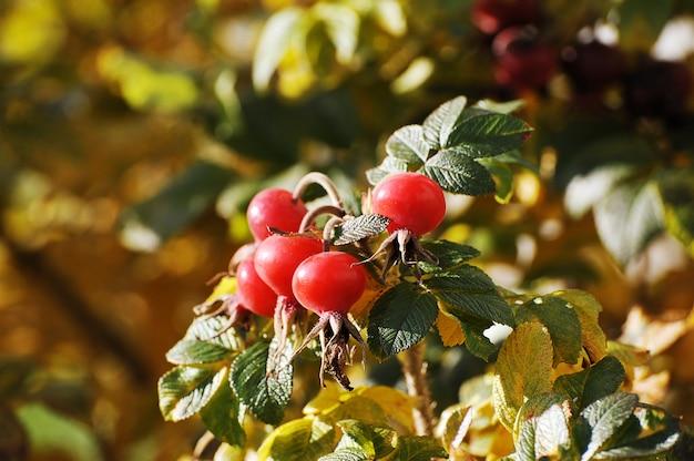 Czerwony owoc dzikiej róży