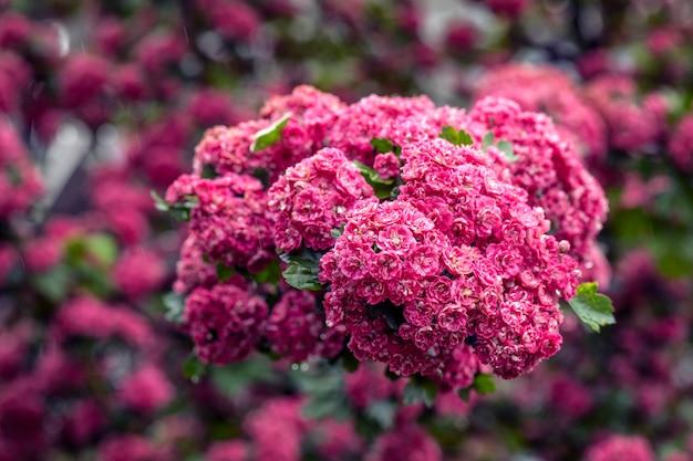 Czerwony pączek głogu kwiaty na tle zielonych liści.